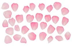 A set of rose petals. Rose-petal. Pink rose.