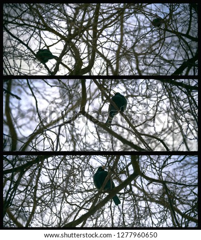 A set of three photos of a  bird sitting on the branches of a winter tree. panoramic view