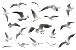 a set of white flying birds isolated. gulls