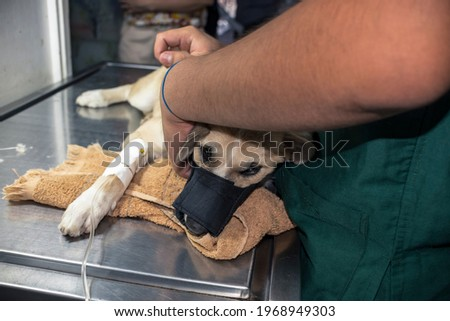 A severely ailing puppy wearing a muzzle for safety purposes and on an IV line while an assistant vet holds her in place. Photo stock ©
