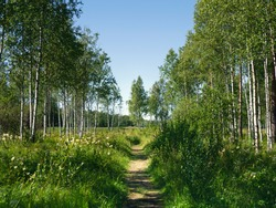A shady birch path in the forest on a bright summer sunny day. End of the road.