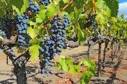 A shallow depth of field highlights ripe, purple wine grapes hanging on the vine at a vineyard in the Napa Valley near Calistoga, California
