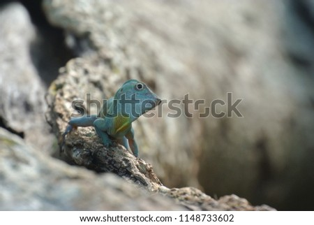 Stock Photo A shallow depth of field turquoise blue lizard on a tree branch. Closeup image in Bermuda.