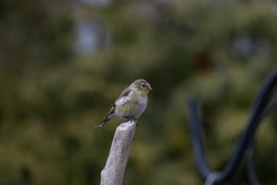 A shallow focus shot of an American Goldfinch bird resting on a twig