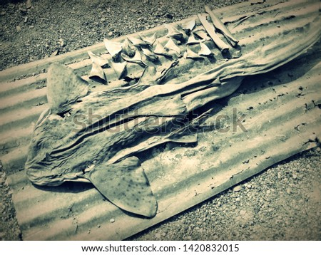 A shark dead body, the picture shows how sharks are hunted and dried under sun light