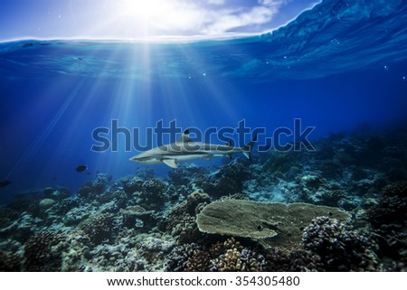 Stock Photo A shark in the ocean. Coral reef underwater with water line. Sunbeams shining through surface.