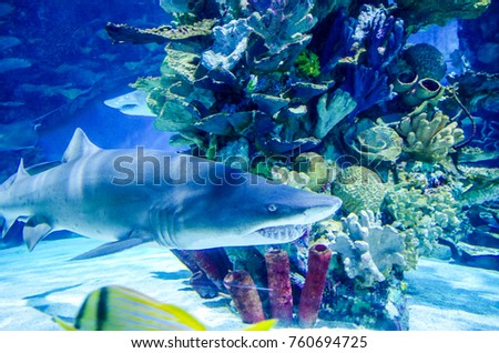 A shark passing by the beautiful colored sea corals, underwater photos of a large white shark.
