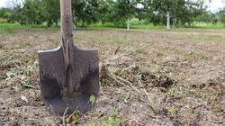 A sharp old farmer's shovel sticks out of the ground in cultivated agricultural fields. Garden village. hard manual work