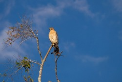 A sharp shinned hawk perched on top of a tree with deep blue sky and light white clouds in the background. The thin tree has two branches off the top and the wild bird is on the top branch in the sun.