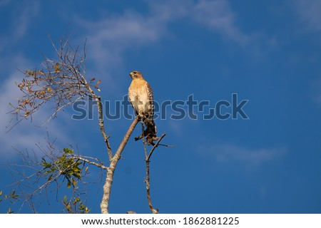 Photo of  A sharp shinned hawk perched on top of a tree with deep blue sky and light white clouds in the background. The thin tree has two branches off the top and the wild bird is on the top branch in the sun.