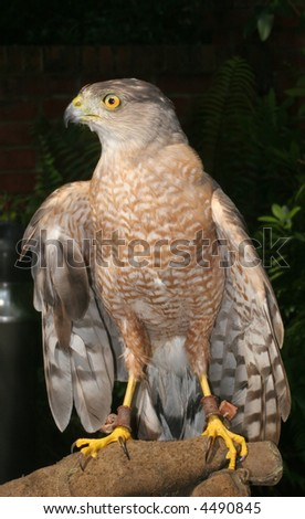 A Sharp Shinned Hawk perched on trainer's glove