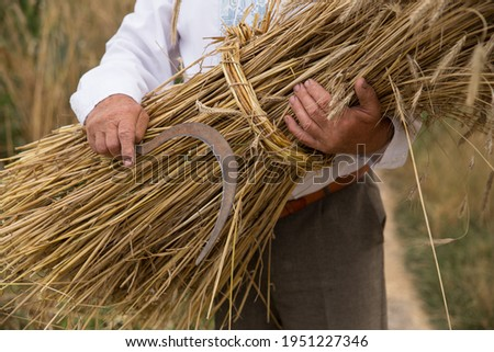 a sheaf of wheat ears in the hands of an elderly man. Sheaf of wheat harvested with a sickle  Сток-фото ©