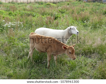 A sheep and a calf grazing together on the pasture in New Zealand.