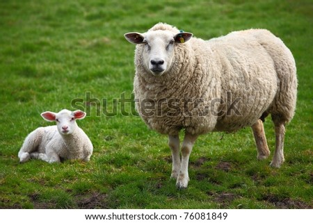A sheep and a lamb