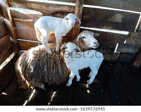 a sheep and her twin lambs in their sleeping area somewhere in Kenya twin lambs and her mother domestic animals farm animals