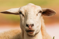 A SHEEP DURING THE RUMINATION PROCESS