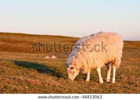 A sheep grazing on a grassy hillside in warm sunset light, with soft blue sky in the background.