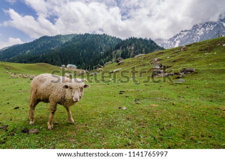 A sheep grazing on a mountain in Kashmir, India. #1141765997