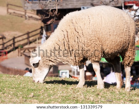 A sheep grazing on the meadow