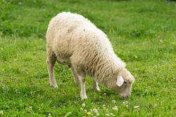 A sheep in a pasture of green grass