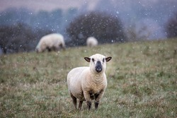 A sheep looking at the camera with snow falling around