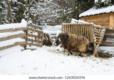 A sheep on the barnyard near feeders in the village, farm, Ukraine