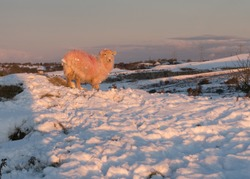 A sheep out in the snow during winter