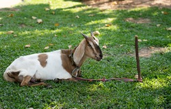 A sheep tethered with a rope Sit and relax on the green grass.