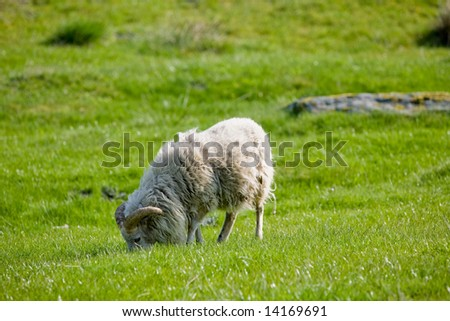 A sheep with horns grazing in the pasture.