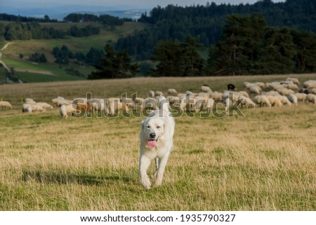 A sheepdog guarding the herd of sheep in the hall. Stockfoto ©