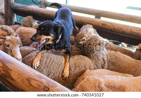 A sheepdog with tongue hanging out rests on the back of the sheep he just herded into a wooden pen