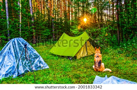 A shepherd dog at a tent camp in the forest. Dog in campground. Dog in forest camping