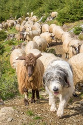 A shepherd dog herding sheep and goats. A shepherd dog climbing the mountain with the herd. A shepherd cultivating the ancient profession of shepherding.