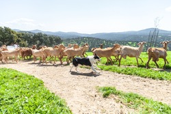 A shepherd dog is running around the goats to leed them