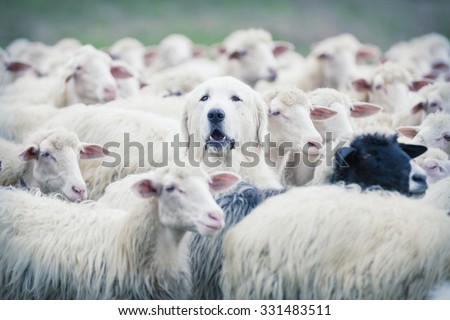 A shepherd dog popping his head up from a sheep flock. Disguise, uniqueness and/or lost in the crowd concept Stockfoto ©
