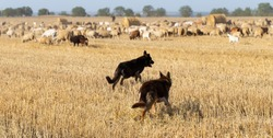 A shepherd's dogs in the pasture. A herd of goats and sheep. Animals graze on the stubble of wheat.