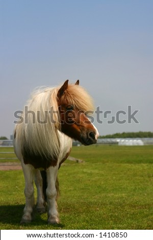 A shetland pony standing in a green field on a  nice summer day