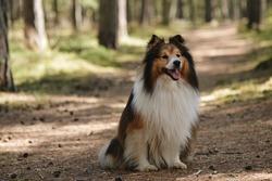 A shetland sheepdog dog sitting in the forest