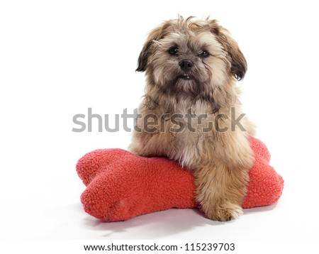A Shih tzu Poodle mix Guarding a pillow