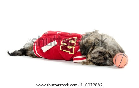 A Shih Tzu puppy wearing a letterman's jacket on white background