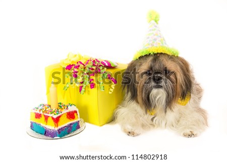 A Shih Tzu wearing a party hat guards a cake and a birthday present. - stock photo