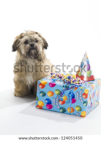 A Shitzu Poodle mix sitting with a birthday present and hat