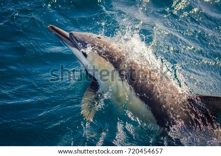 A Short-beaked Common Dolphin bow-riding alongside a whale watching vessel off Port Stephens, Australia. - Shutterstock ID 720454657