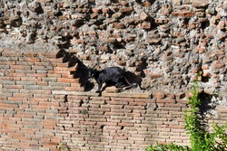 A short haired black cat walks along an ancient brick wall in the Largo di Torre Argentina ruins, now a cat sanctuary, in Rome, Italy.