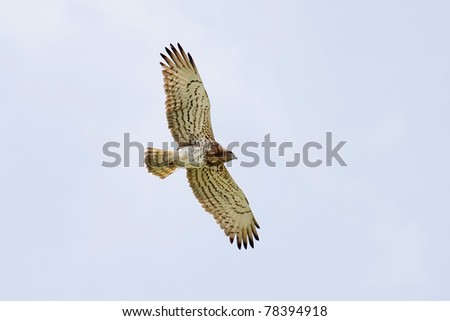 A Short-toed Eagle (Circaetus gallicus) flying over