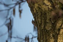 A short toed tree creeper, climbing a tree, England