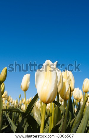 A shot of a beautiful field of white tulips