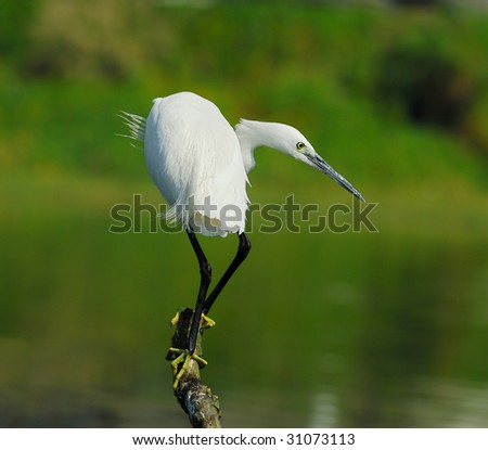 A shot of a Great Egret in the wild(See more birds backgrounds in my portfolio).
