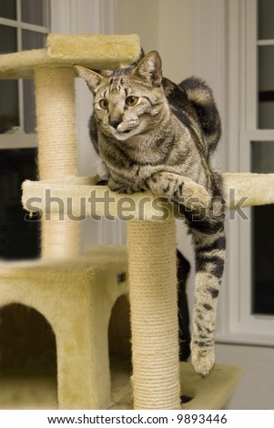 A shot of a highly rare savannah cat, lounging on its perch.  This is a very expensive pet.