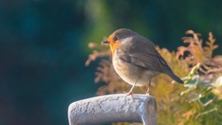 A shot of a robin red breast perched on the handle of a spade.
